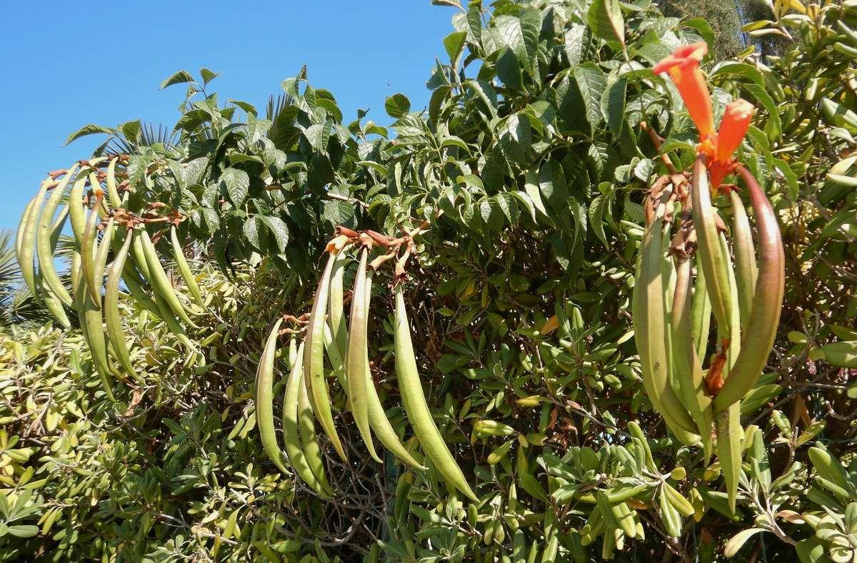 Campsis radicans - une variété de la famille des bignoniacées,
