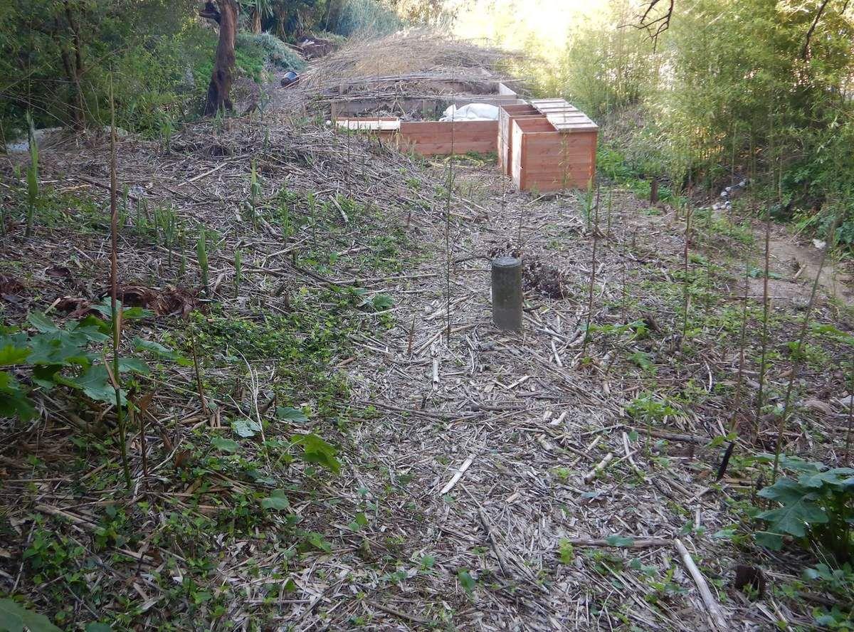 Les bambous repoussent déjà