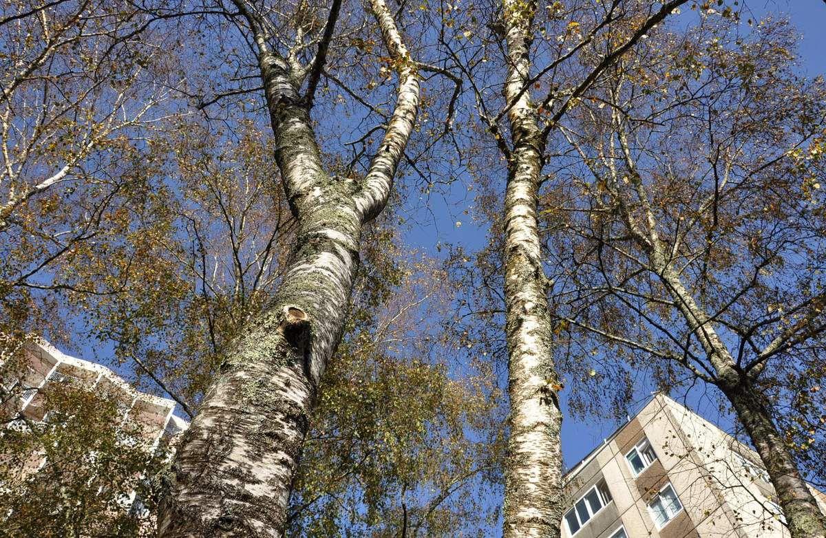 Les arbres au bas du Bd de Provence
