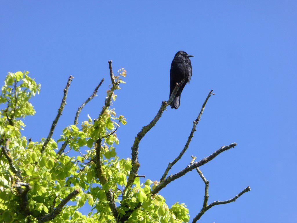 Si vous passez au rond-point de Kermoysan, vous reconnaîtrez facilement l'arbre et peut-être l'oiseau.