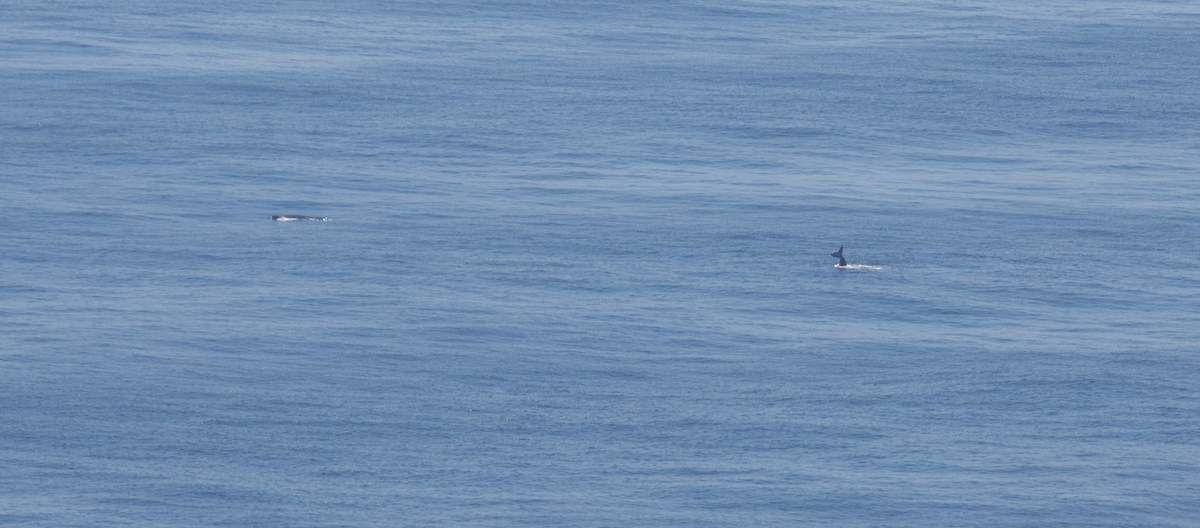 Baleines à bosse observées depuis l'avion. Crédit photos: AFB - Pelagis - Thierry Sanchez, Antoine Baglan et Morgane Perri.