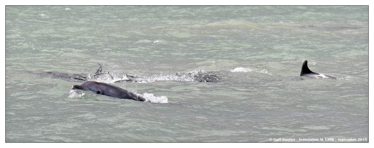 Prédation chez le grand dauphin