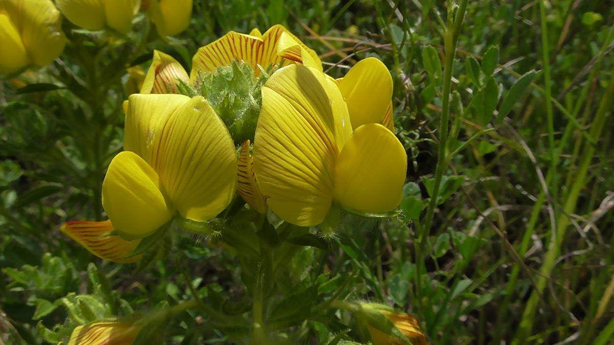 """Et pour la fin, l'Ononis jaune ou coqcigrue ou bugrane gluante  (ononis natrix). Etrange mot que """"coqcigrue""""..."""