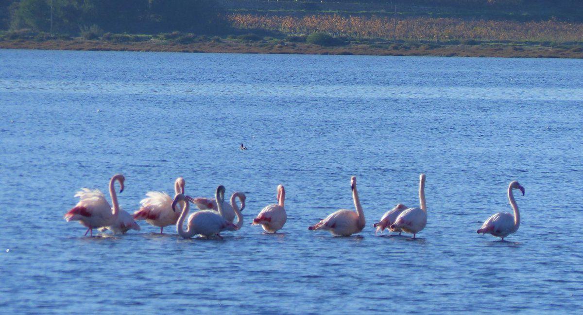 les flamants roses (gris-noirs pour les plus jeunes), qui doivent leur couleur rose-orangé aux micro-crustacés riches en bêta-carotène qu'ils ingurgitent à longueur de journée,