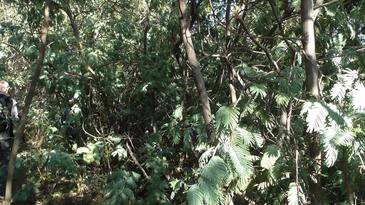 Dernière péripétie : la traversée du bois de mimosas...