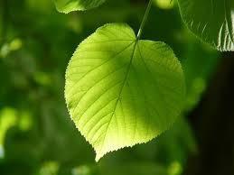 Tilleul-roue-des-arbres-celtiques