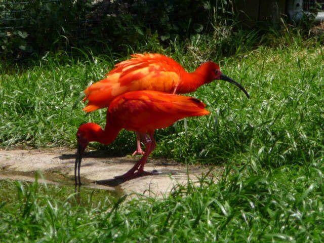 Cacatoès blanc et ibis rouges