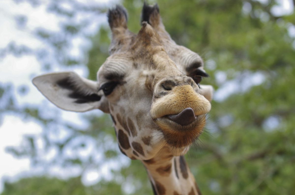 La girafe, elle, porte une paire supplémentaire de tétons sur la tête.
