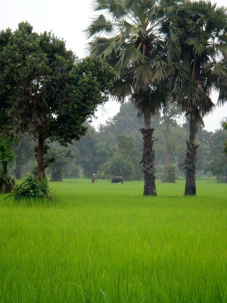 Rizière cambodgienne