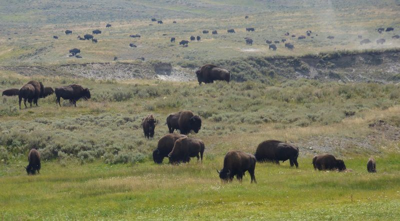 Troupeau de bisons sur le plateau central de Yellowstone