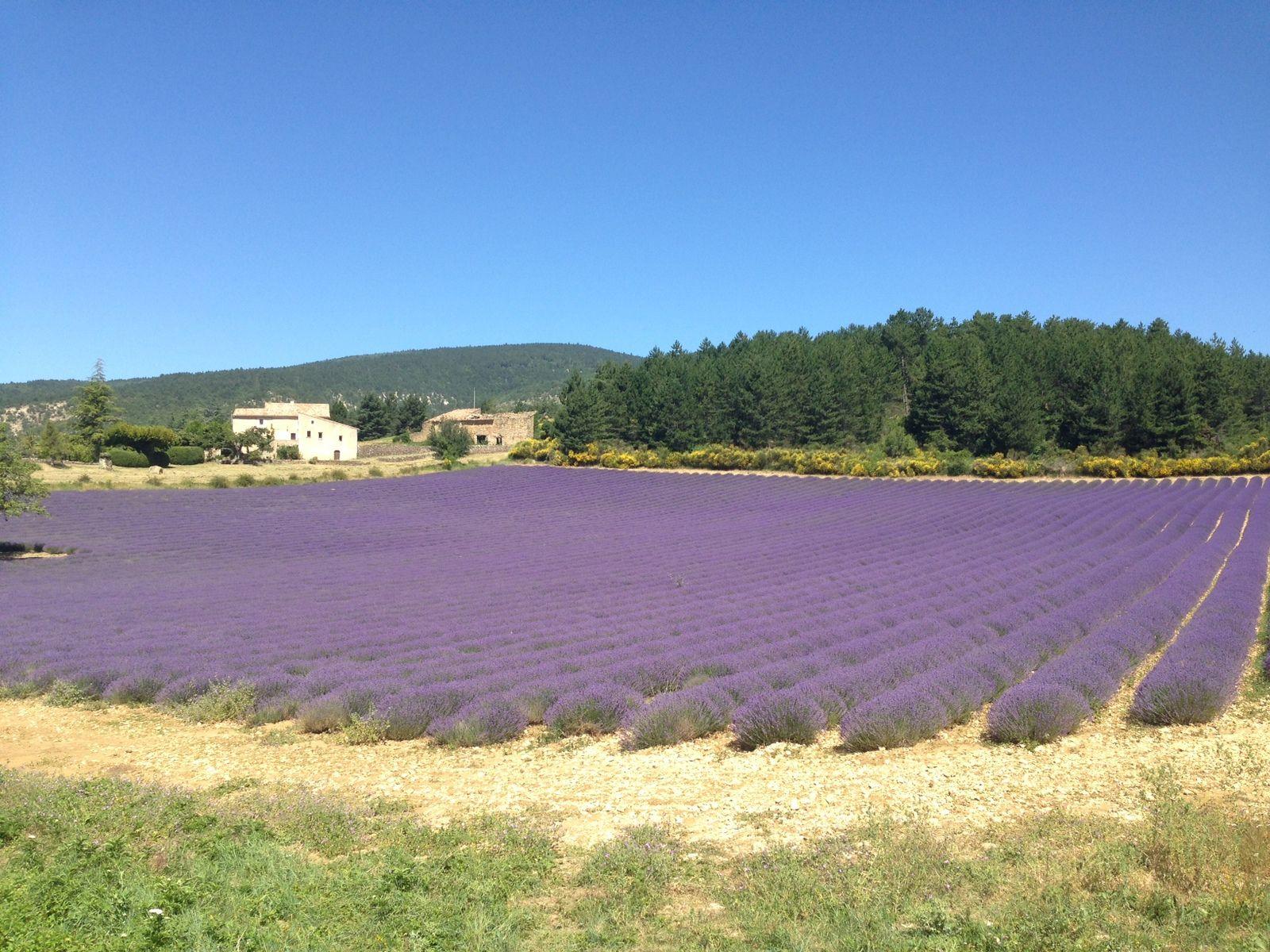 Provence, Bédoin, sommet du Ventoux, bleu du ciel et bleu de la Lavande.