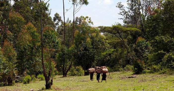 Forêt : en moins de 10 ans, plus de 14 000 hectares reboisés au Kenya grâce à la Banque africaine de développement