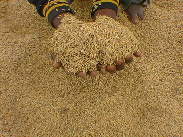 Côte d'Ivoire : Africaseeds apporte son appui pour le développement du programme semencier