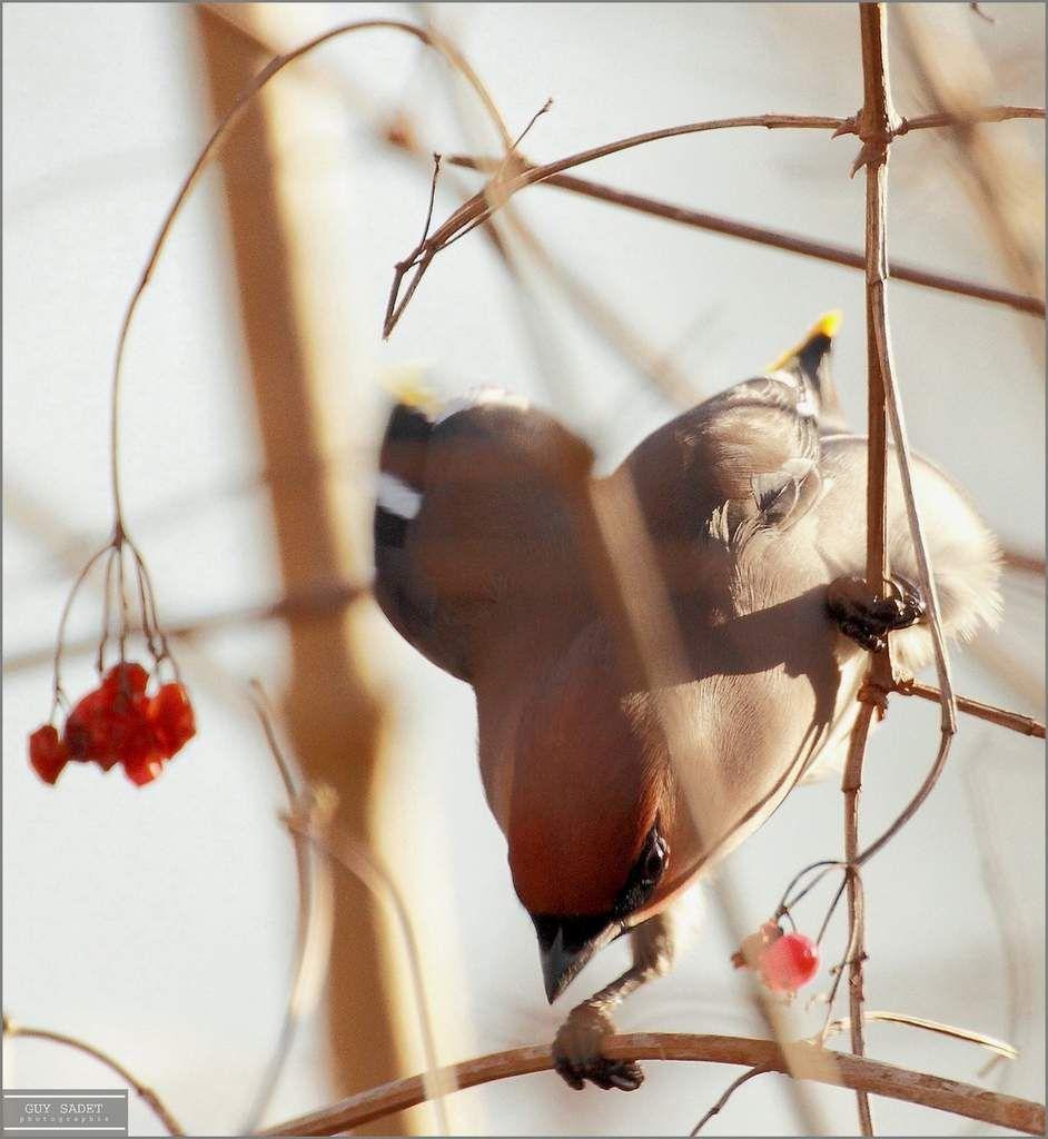 Le jaseur boréal, l'inattendu visiteur de l'hiver
