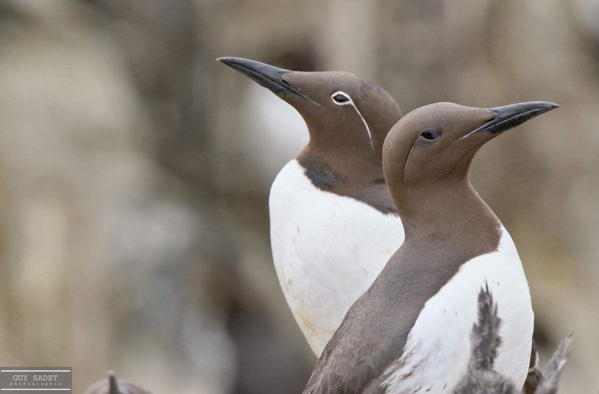 Guillemots de Troïl Au second plan, la variante bridée de l'espèce en raison du contour blanc et de la virgule en arrière de l'oeil -espèce plus rare -