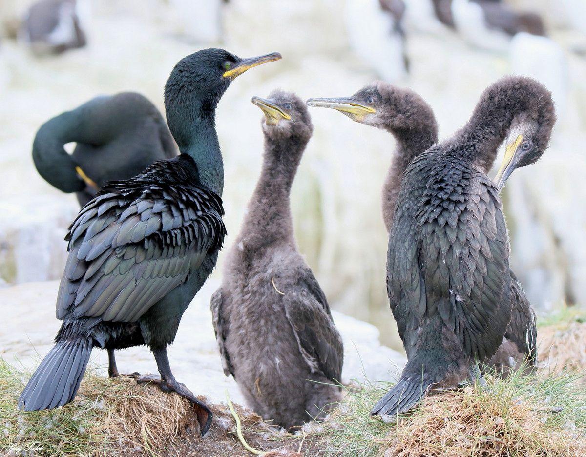 The Farne Islands (GB) :immersion dans l'un des plus fabuleux sanctuaires d'oiseaux de mer