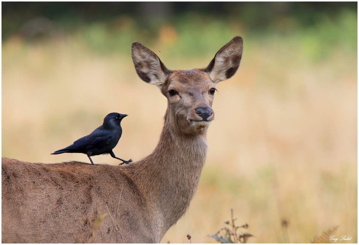 Le Choucas des tours qui parle aux oreilles des biches