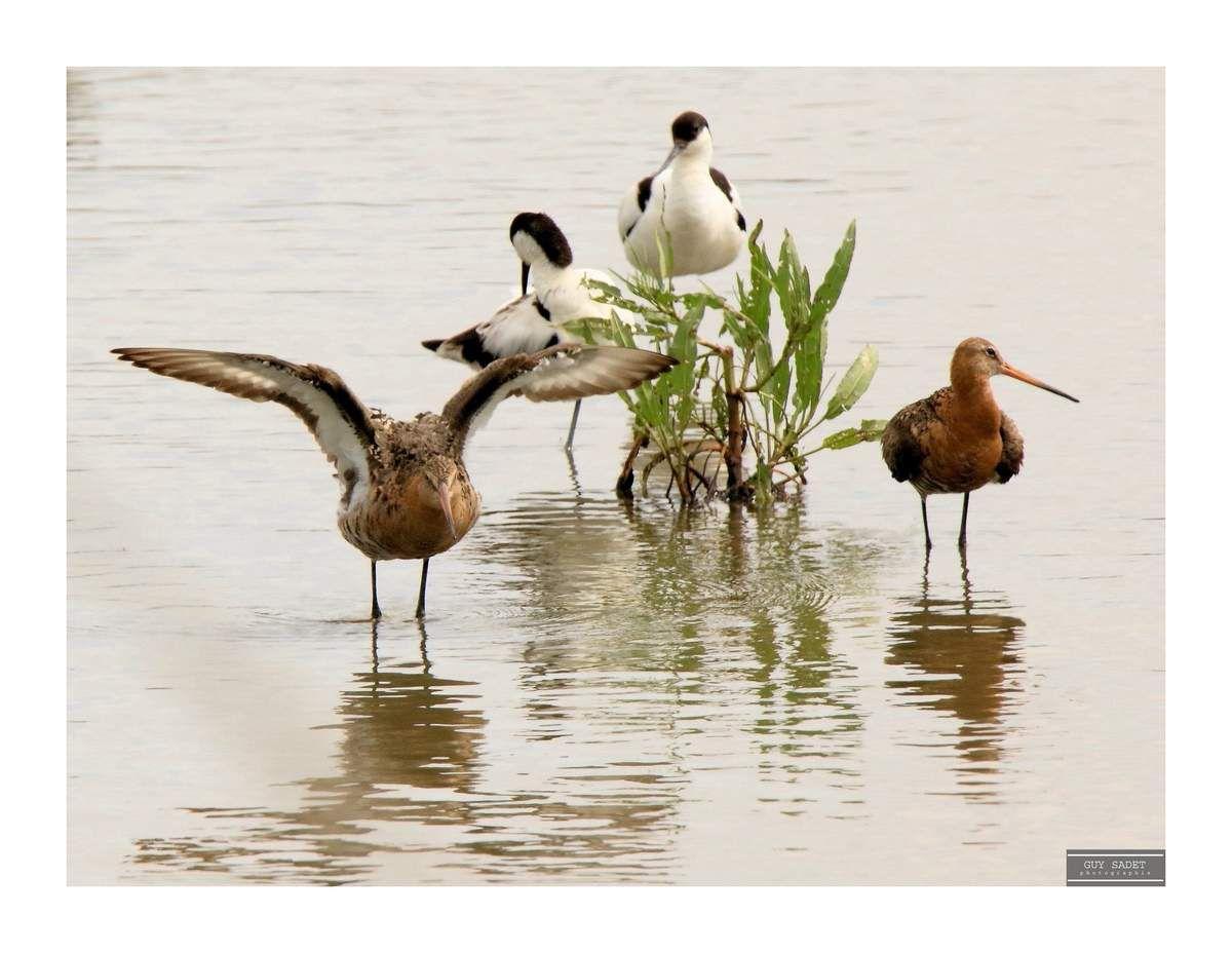 Barges à queue noire et Avocettes élégantes sur un plan d'eau de la réserve ornithologique de Grand-Laviers (80)