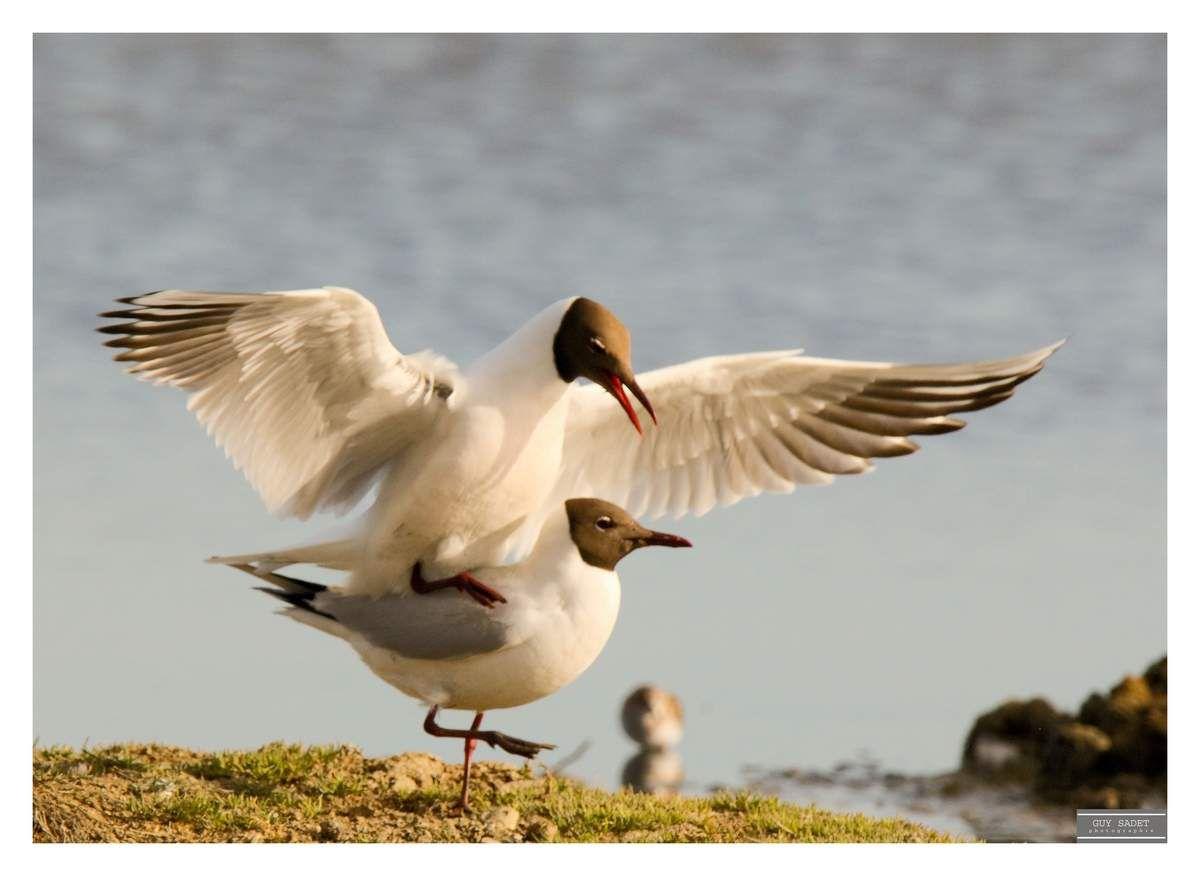 Balade ornithologique, du Teich (Gironde) aux Aiguamolls de l'Empordà (Espagne)
