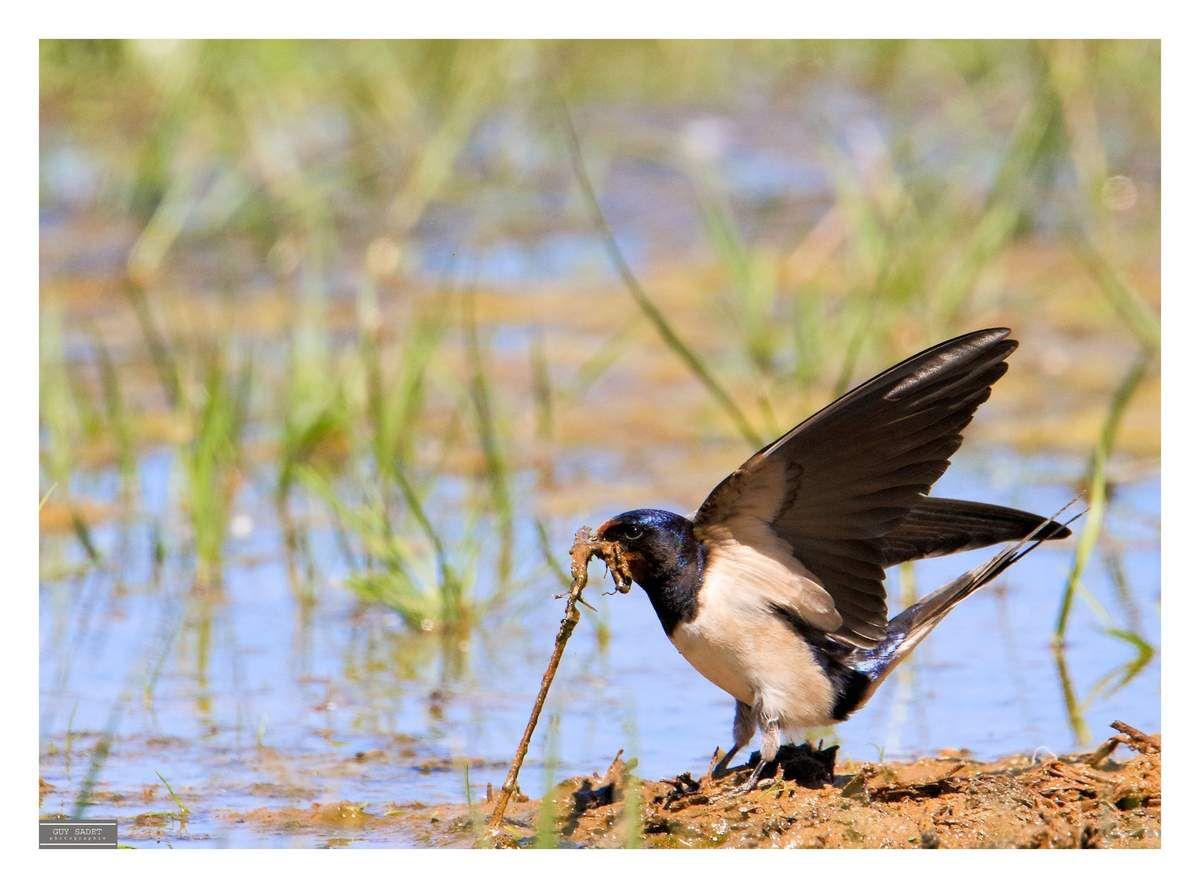 Hirondelle rustique : Pour construire leur nid les Hirondelles rustiques sont en quête de flaques d'eau bien utiles pour composer un savant mélange de boues, de fétus de paille ou de crins ainsi que de petit cailloux afin d'en constituer une boulette !