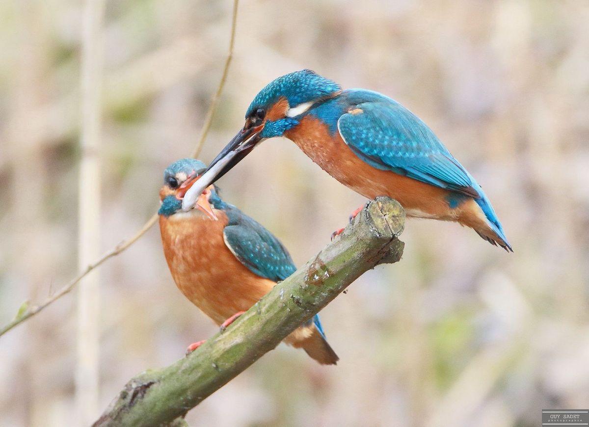 Pour l'offrande, le mâle apporte de la nourriture à sa partenaire, s'aplatit devant elle les ailes pendantes, puis étire le cou pour lui proposer généralement un petit poisson présenté la tête la première. Ce manège, répété à plusieurs reprises, assure à la femelle assez de ressources pour pondre ses quatre ou sept oeufs.