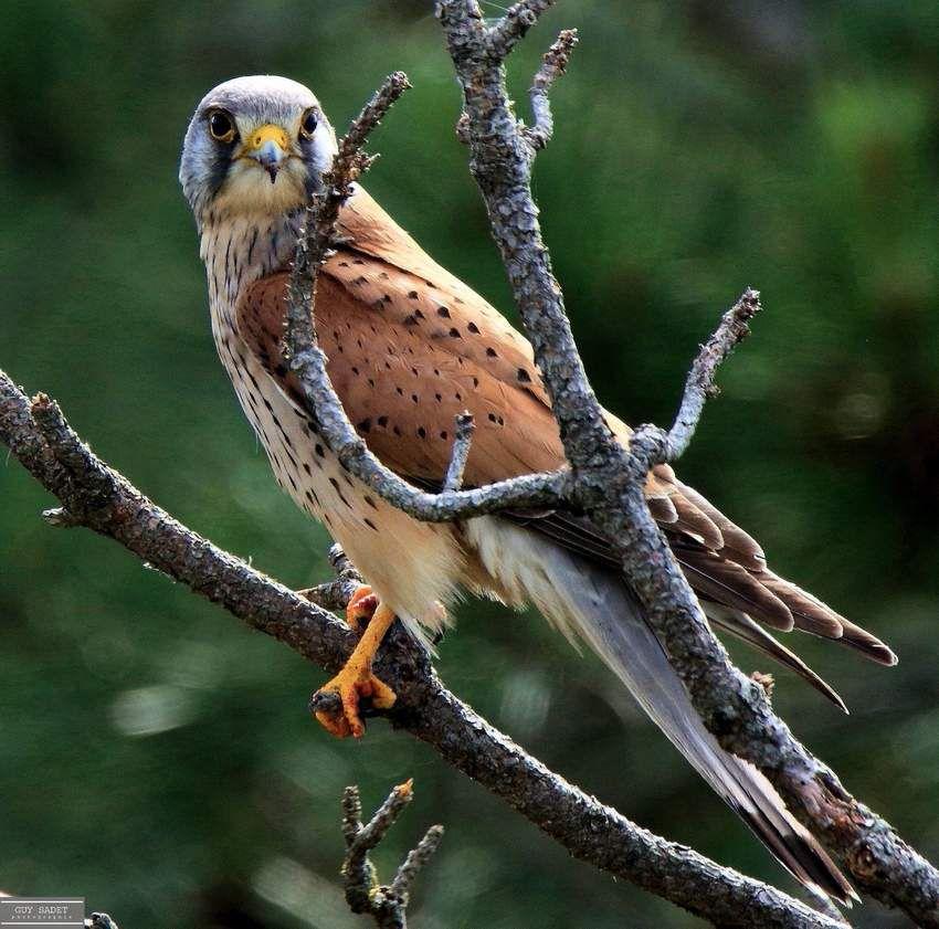 Visite inattendue d'un Faucon crécerelle au cœur de la pinède