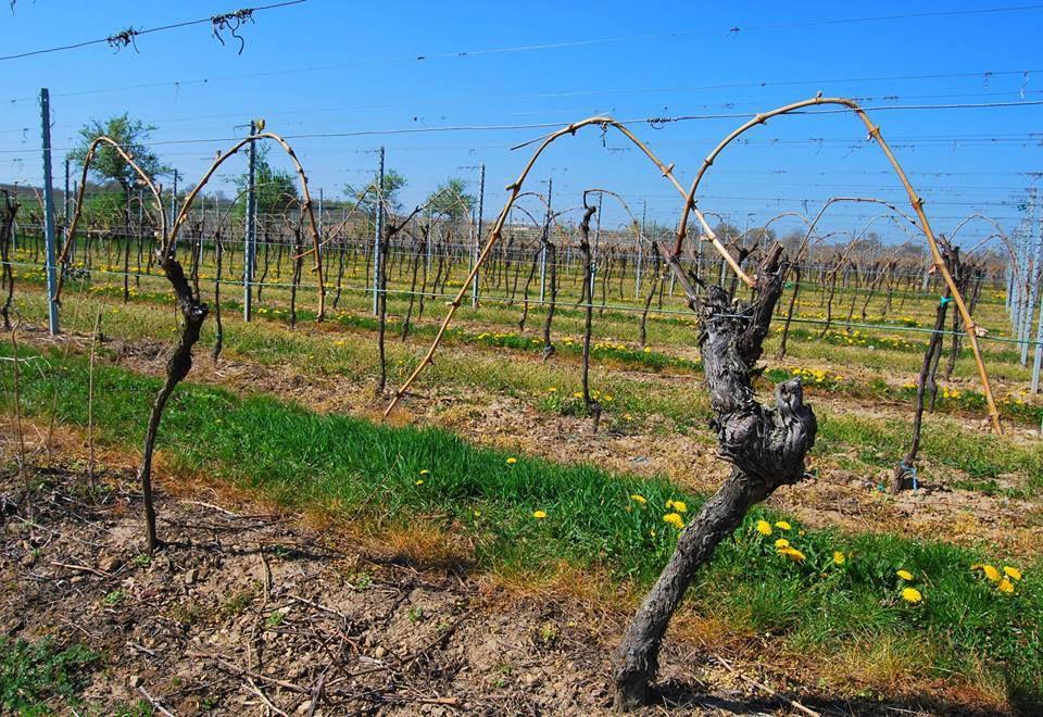 Les formes de la traditionnelle coiffe Alsacienne sont certainement inspirées par les rameaux recourbés des vignes ...