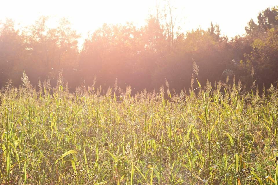 Des insectes fous dans la lumière d'un champ de maïs