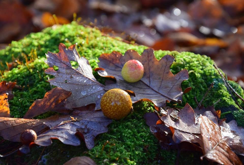 Non, ce ne sont pas des mirabelles mais la galle du chêne ! A l'intérieur de cette boule se trouve la larve d'un insecte, une sorte de petite guêpe noire. La galle lui fournit le gîte et le couvert. Le cycle de cet insecte est assez complexe car il y a une génération hivernale et une génération sexuée printanière