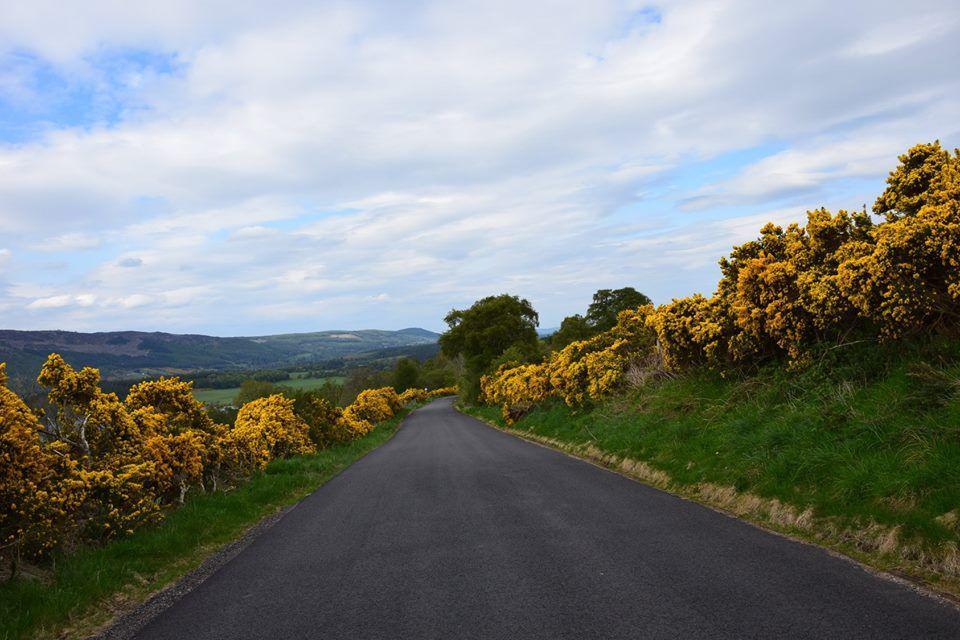 L'ajonc est un arbuste épineux à fleurs jaunes très répandu dans les Highlands