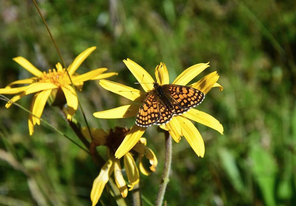 Fleurs d'Arnica et papillon Petite Violette