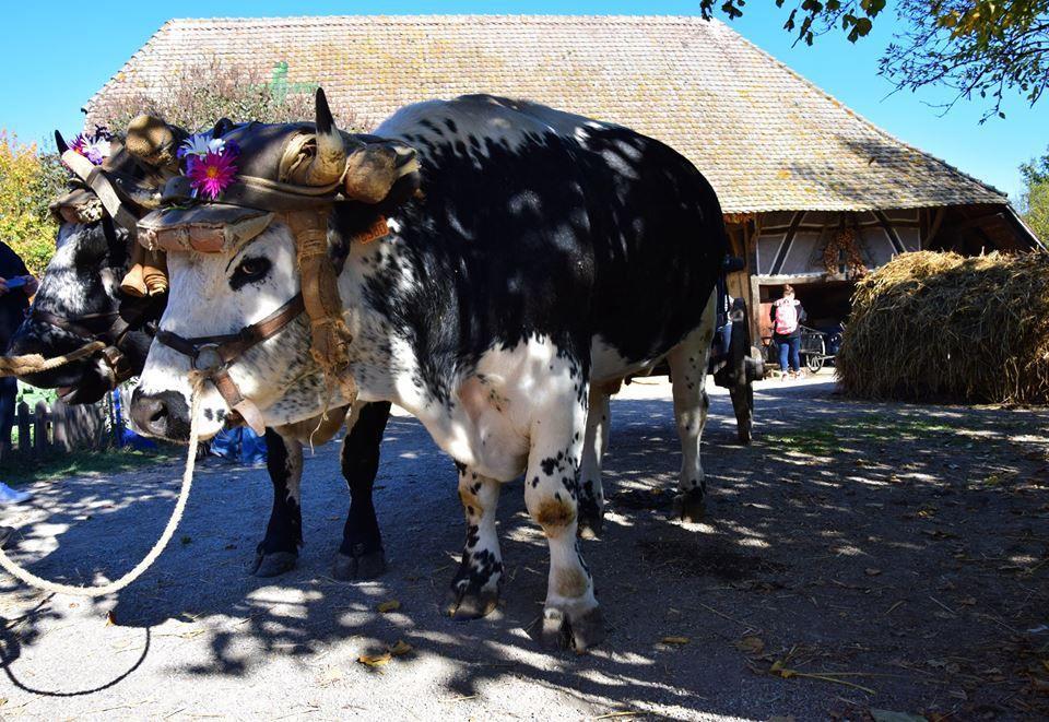Les deux vaches de race vosgienne sont déjà prêtes pour aller aux champs