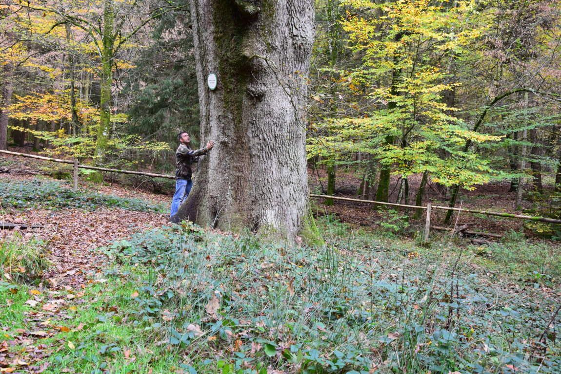 Le gros chêne de Neuwiller-lès-Saverne