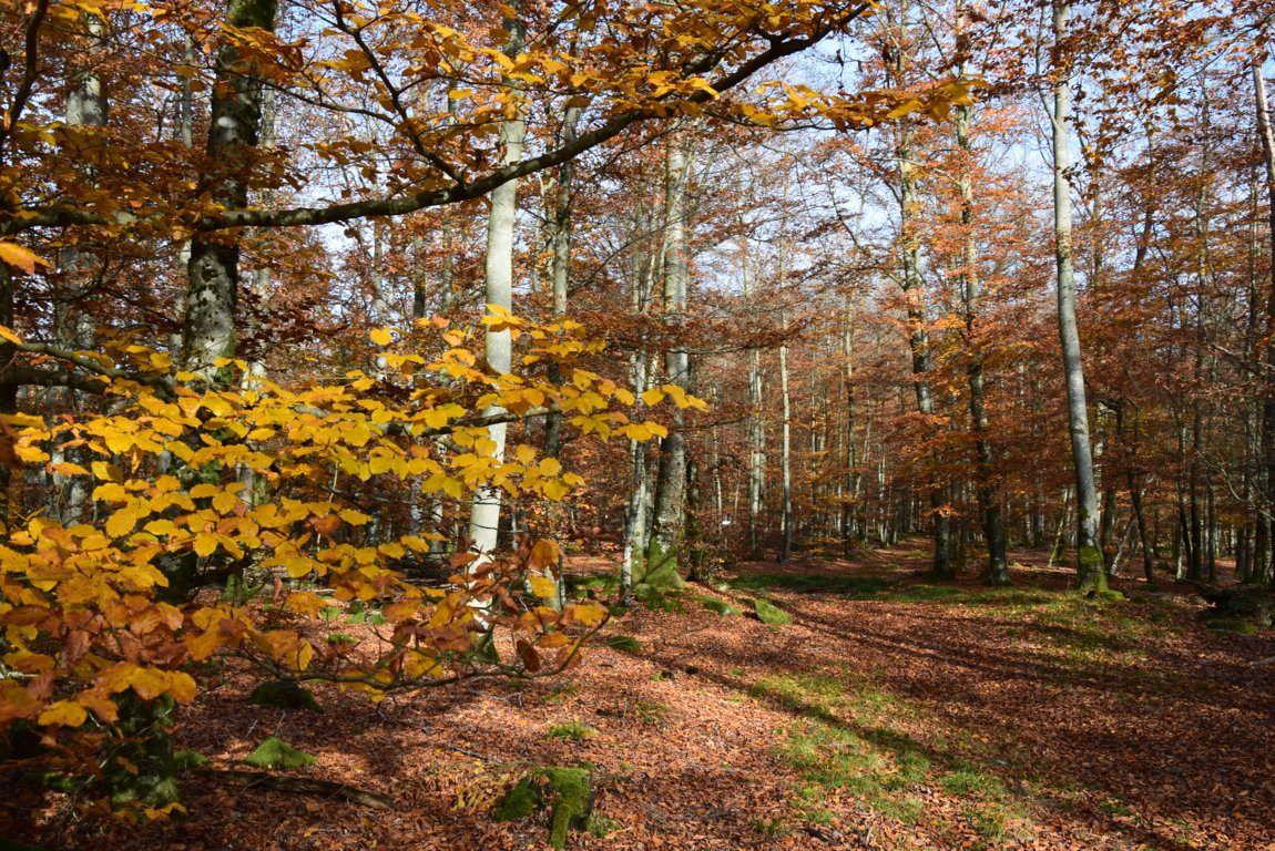 Dans la forêt rousse de Saint Quirin