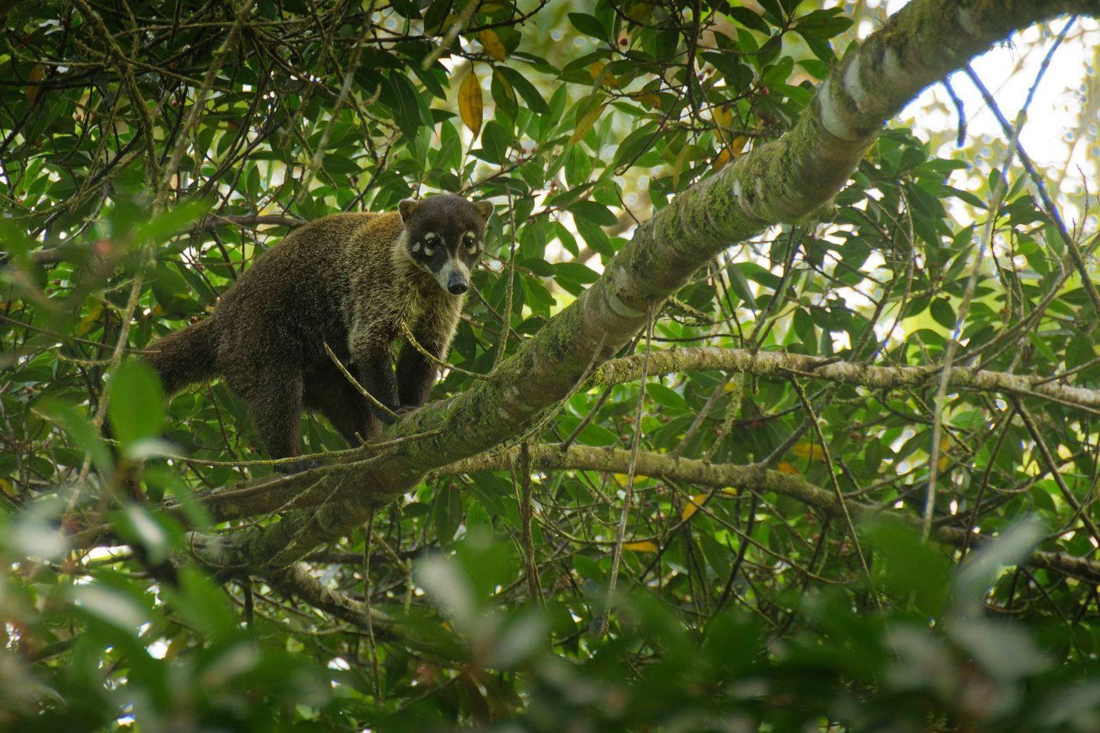 Un Coati à nez blanc