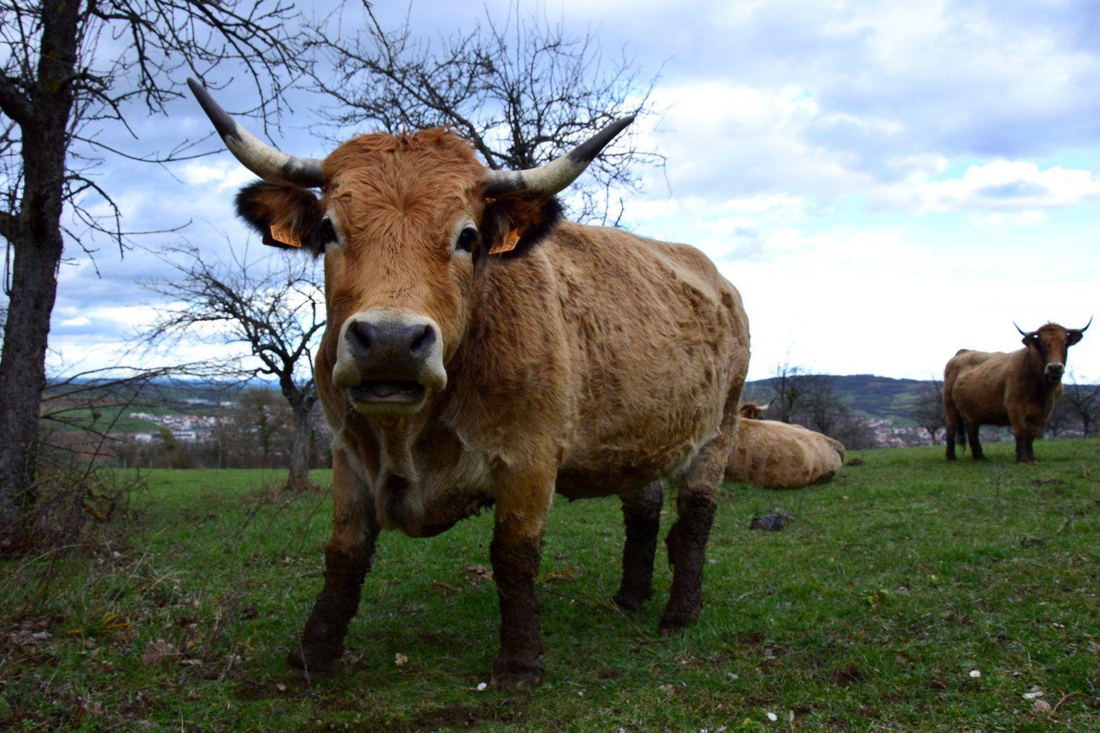Des vaches de race Aubrac en Alsace