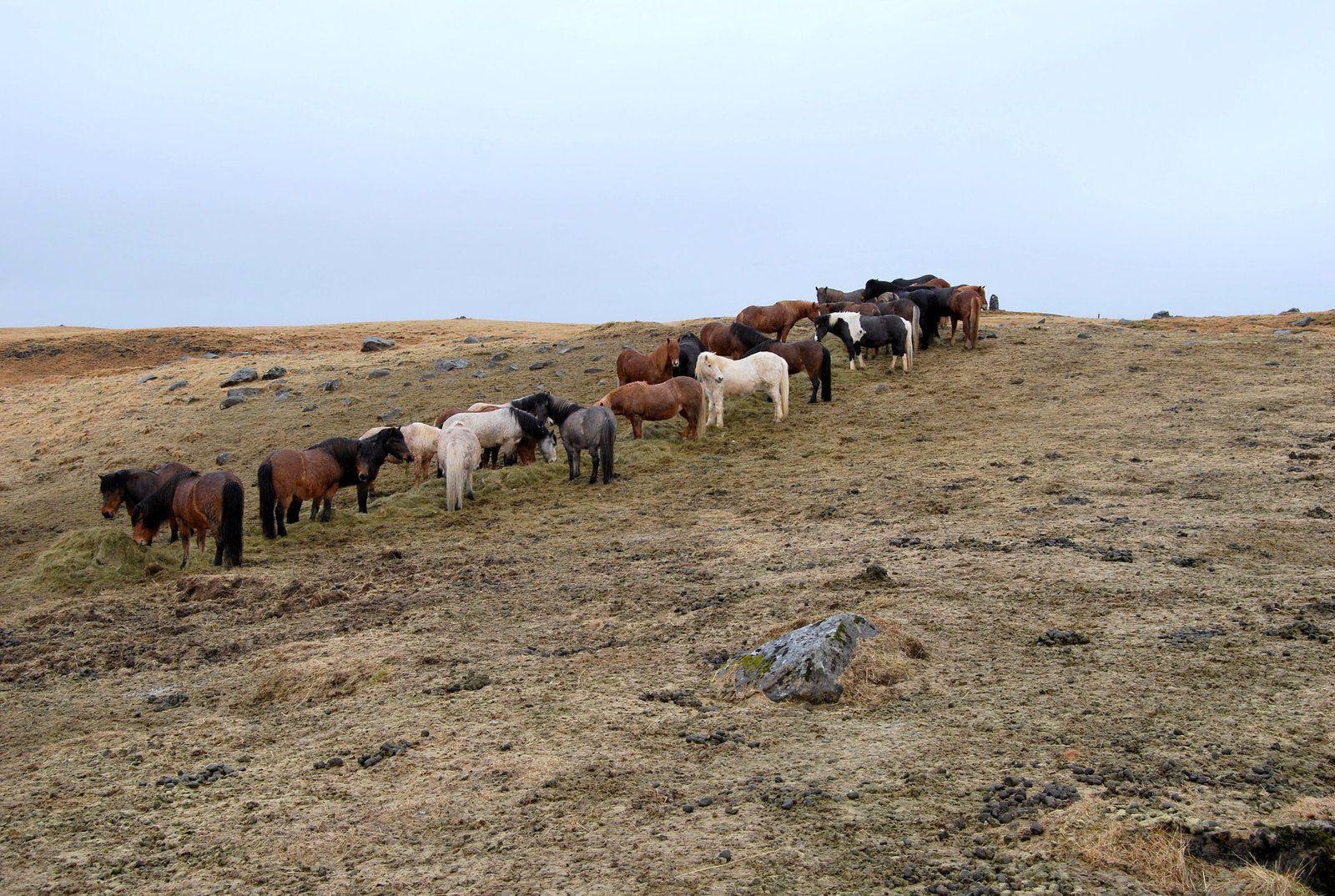 La race de chevaux islandais est considérée comme la plus pure. Ils sont arrivés sur l'île il y a plus de mille ans et n'ont jamais été croisés