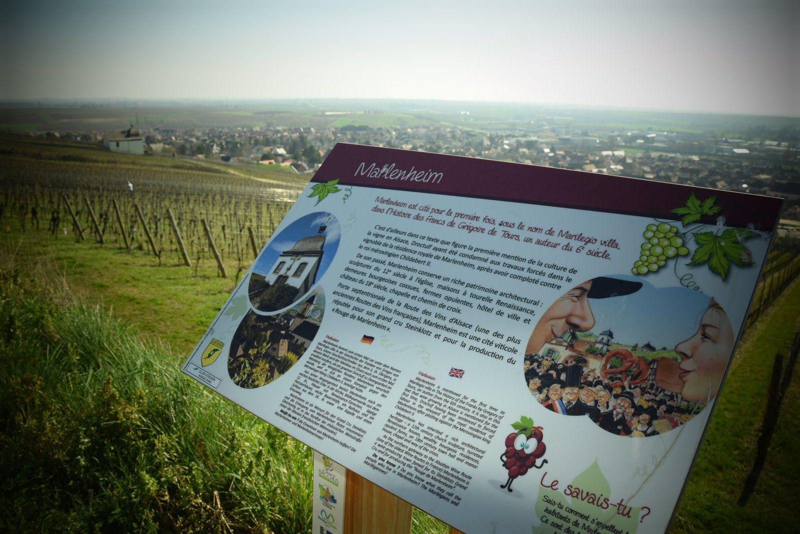 Dans le vignoble de Marlenheim
