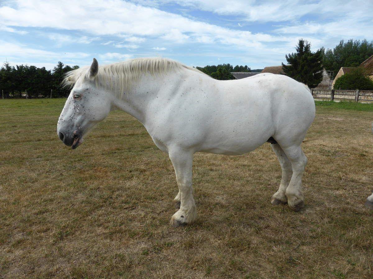 De superbes chevaux de race Percheronne