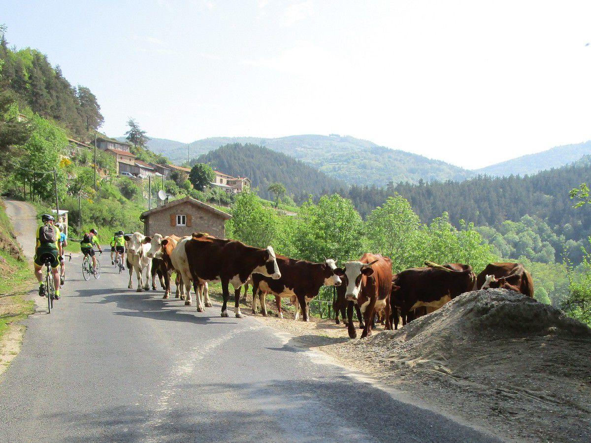 Les vaches vont retrouver leur lieu de pacage