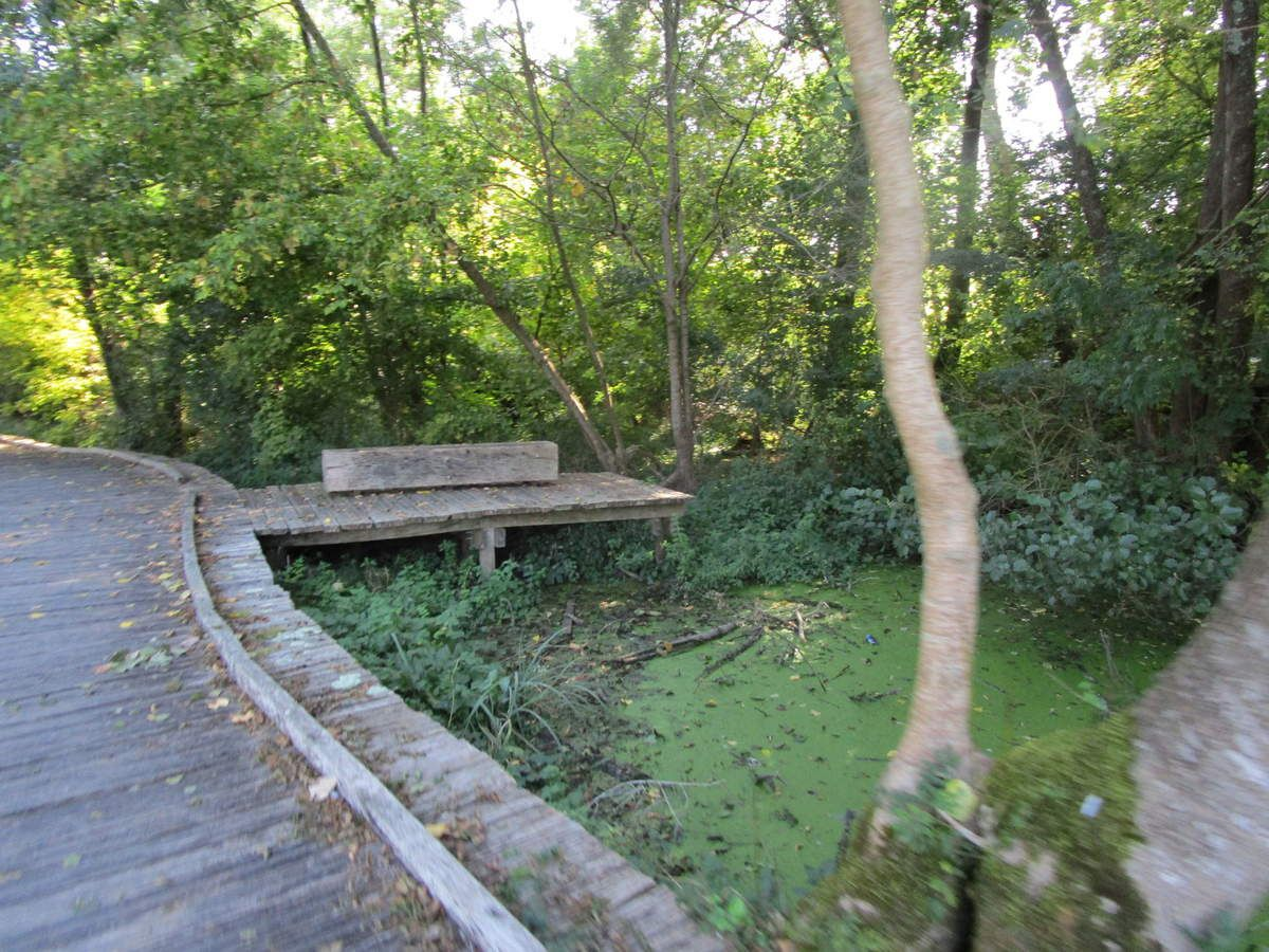 Un chemin tout en planches au dessus du marais . Les lentilles vertes recouvrent l'eau . Cela devient rare .