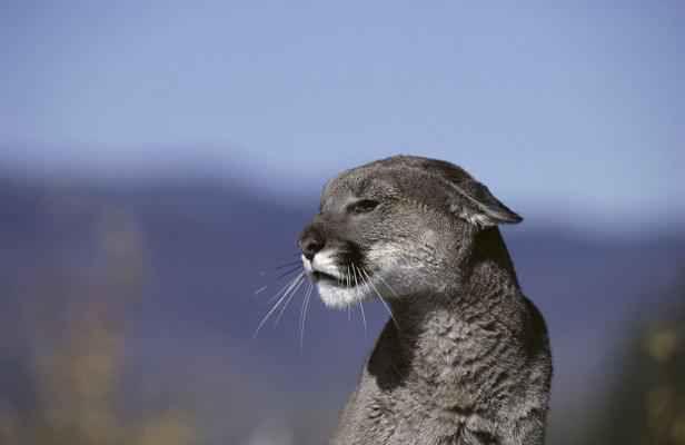 Les cougars ont officiellement disparu :'(