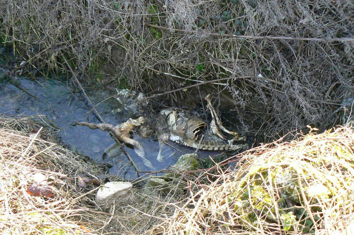 14.2.2019 carcasse d'animal  dans le ru Botteret en amont de Mauperthuis