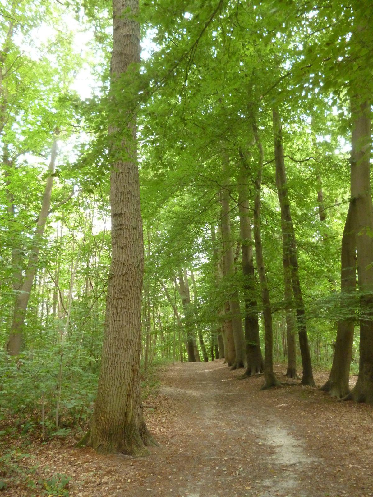 Venez vous abriter sous les arbres plus que centenaires de la forêt de Montgé en Goële