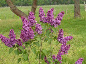 Lilas libelle.blogspot.com