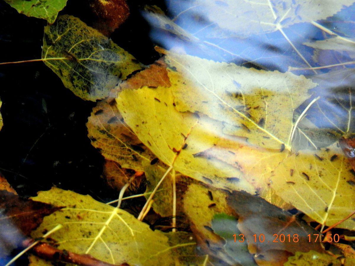 feuilles mortes piquetées ou englouties sous l'eau