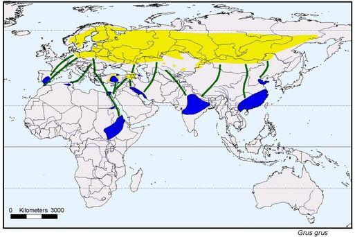 La grande migration des Grues cendrées