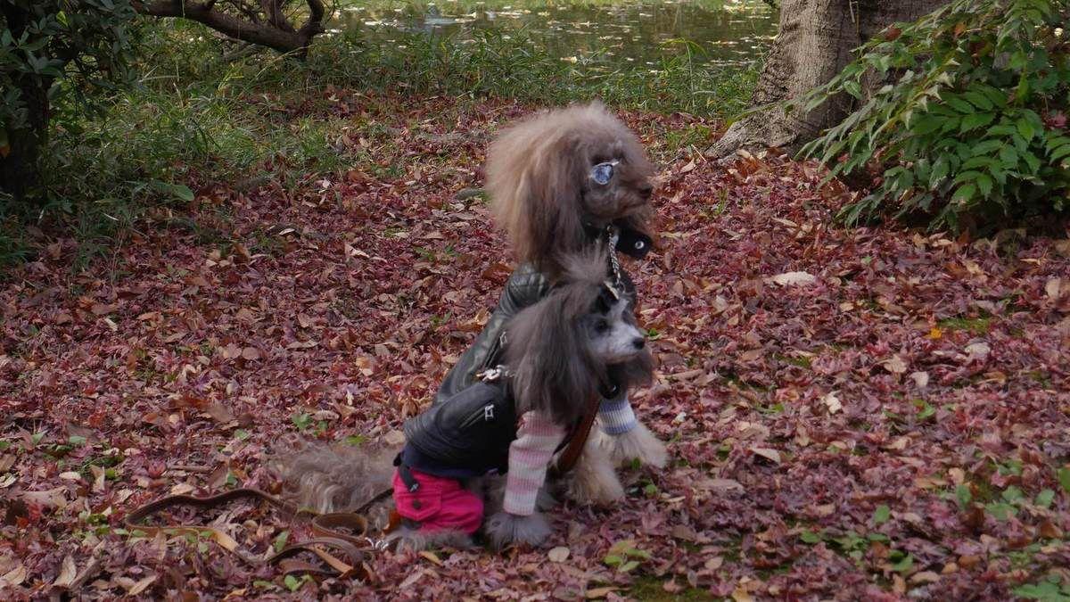Des chiens habillés
