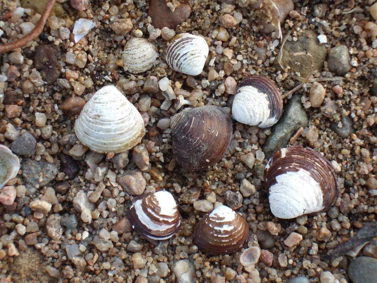 Coquillages du sable de la Loire