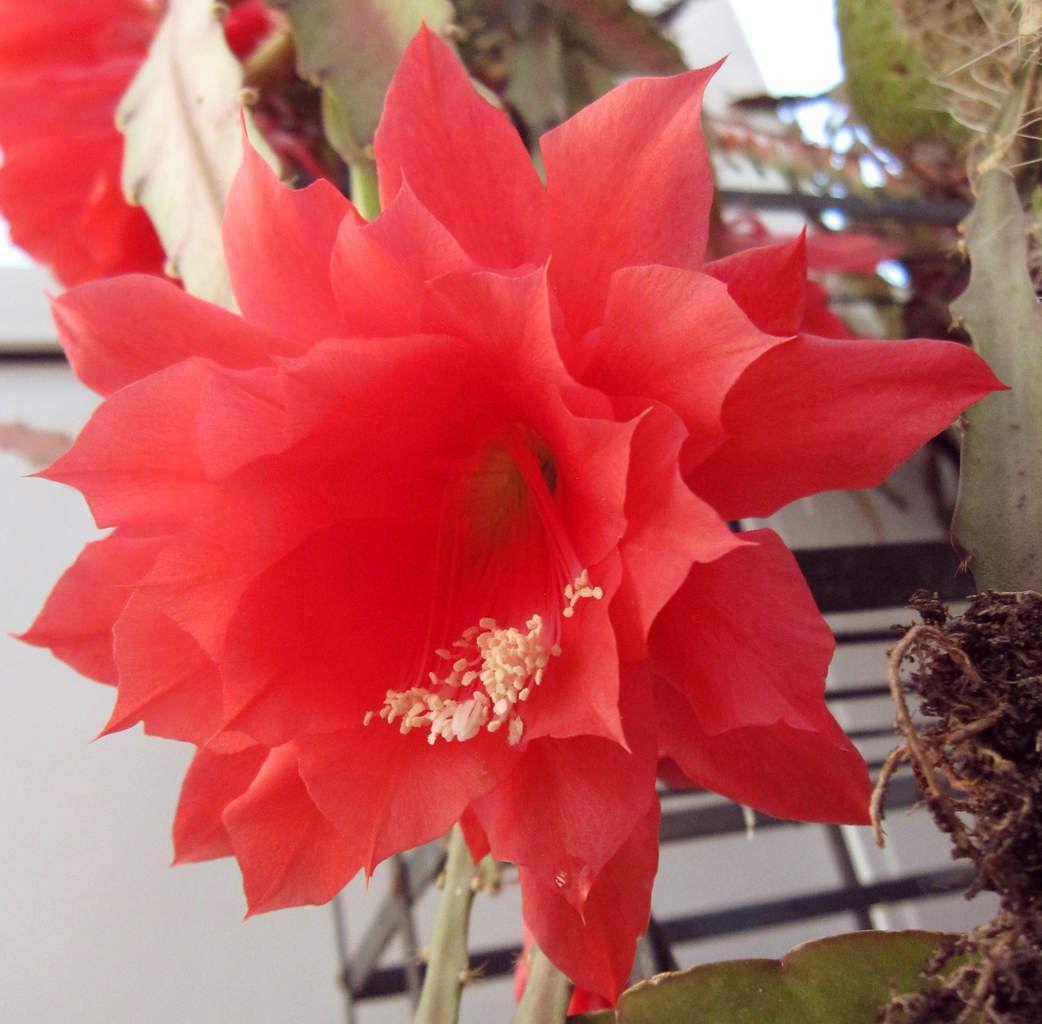 fleur de cactus à Troyes